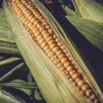 sweet-corn-3705687_1280_800x533